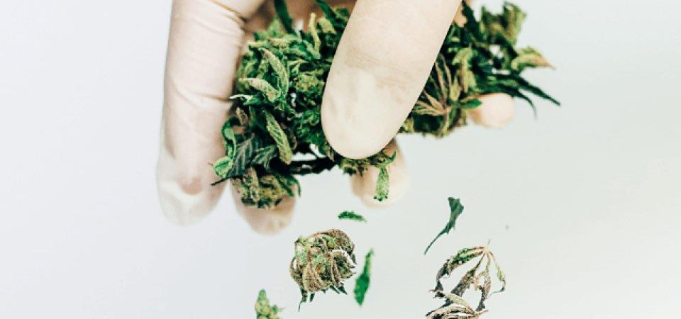 hand crumbling dried marijuana flowers